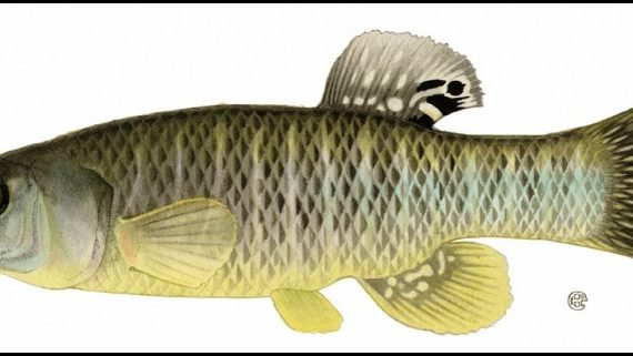 Killifish (Fundulus heteroclitus)