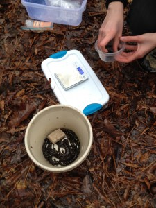 Seventeen spotted salamanders (Ambystoma maculata) were captured and measured during the 2015 Wildlife Survey's salamander survey.