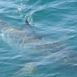 Great white shark seen during marine mammal survey!