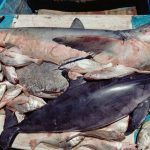 More on Vaquita Conservation