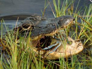 Predation on Callinectes sapidus