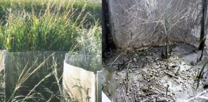 Impact of snail grazing at high densities after 6 months