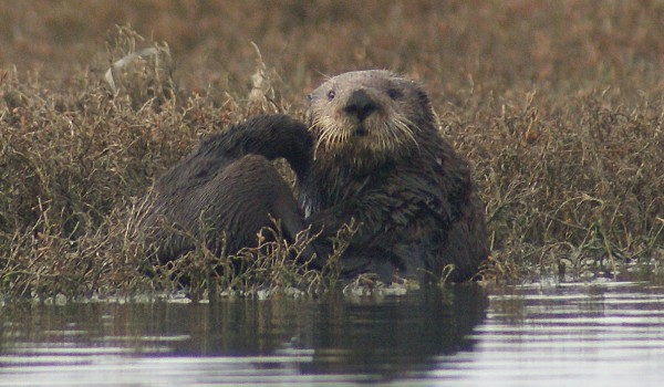 Sea Otters Boost Seagrass by Protecting Algae-eating Sea Slugs