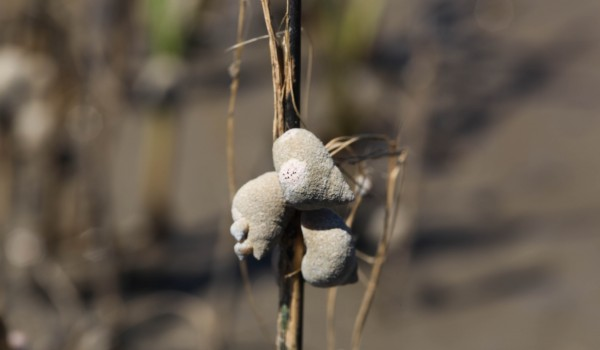 Snails Likely Finished off Stressed Out Salt Marshes