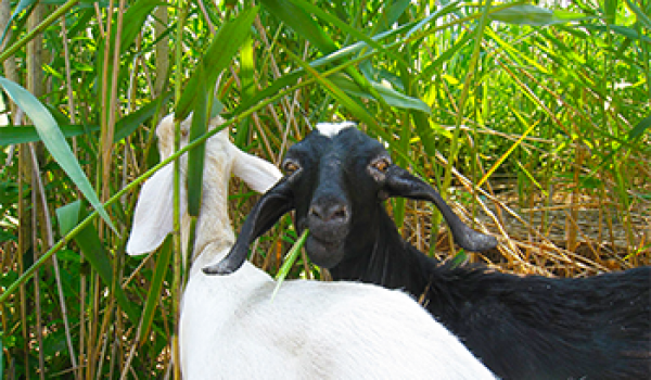 In East Coast Marshes, Goats Take On a Notorious Invader