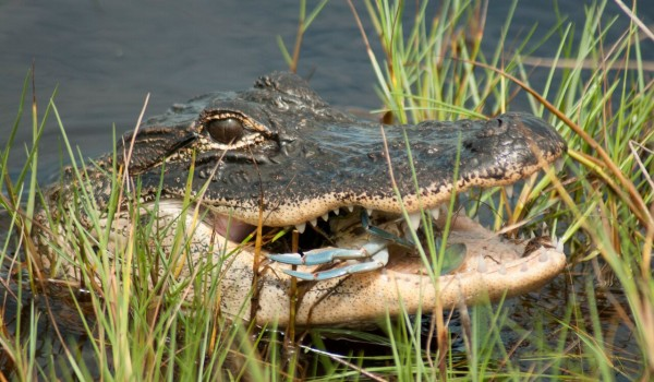 Alligators, sharks, mountain lions and other predators are making a comeback