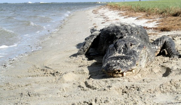 As Predators Rebound, You're More Likely to See Alligators at the Beach