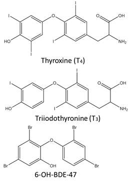 Structures of thyroid hormones (Thyroxine & Triiodothryonine) and a PBDE metabolite, 6-OH-BDE-47. Note the similar structures, the main difference being the type of halogen (iodine in TH, bromine in the flame retardant).