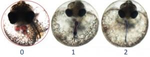 Figure 1: deformed hearts in killifish